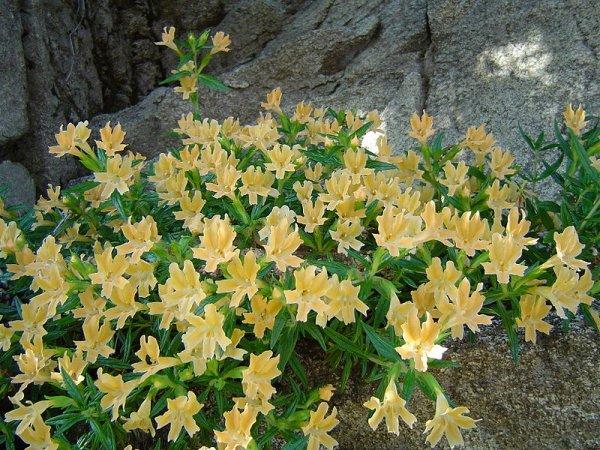 Яркие золотисто-желтые цветки