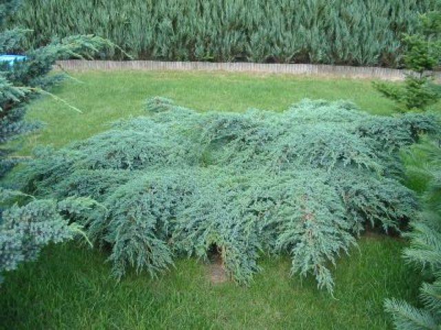 Медленно растущее почвопокровное растение