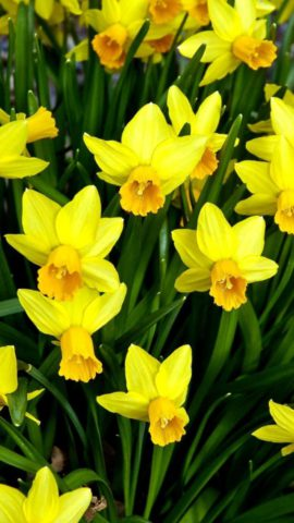 Чисто-желтые цветки
