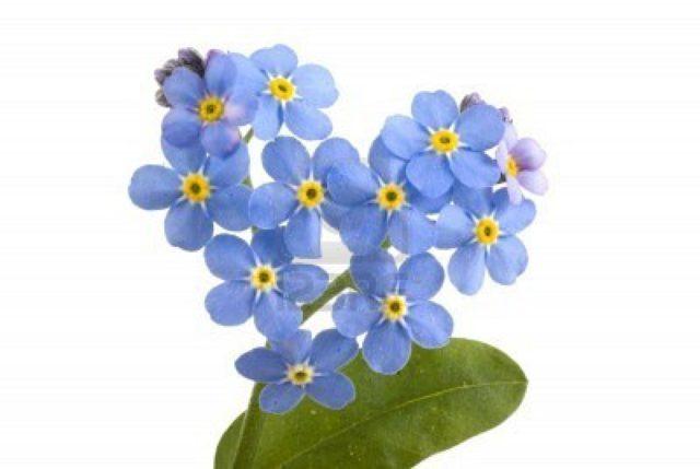 Небесно-голубые цветки