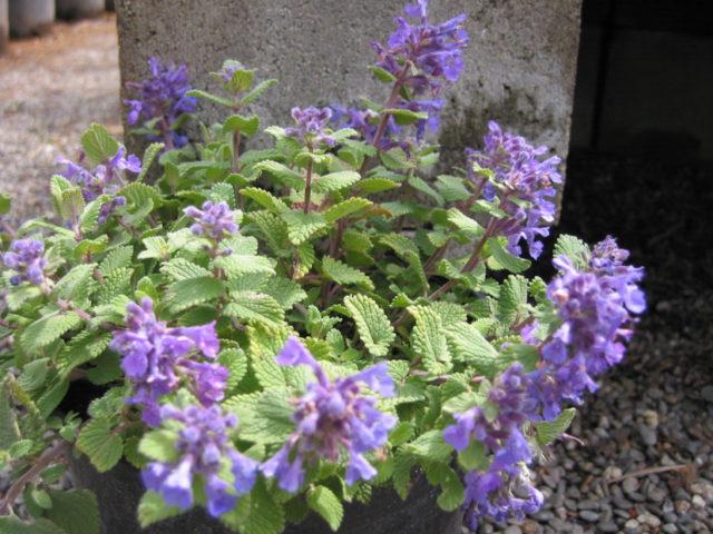 Светло-голубые цветки