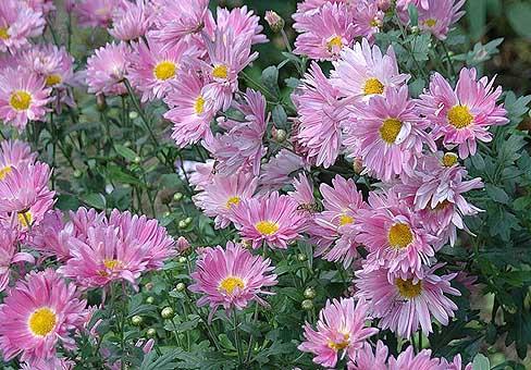 Розово-фиолетовые, промежуточные хризантемы
