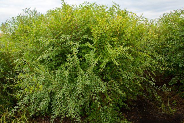 Полувечнозеленый раскидистый кустарник