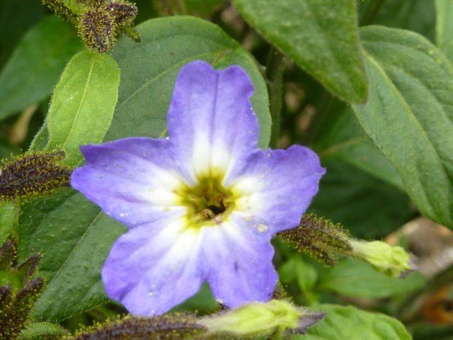 В. viscosa