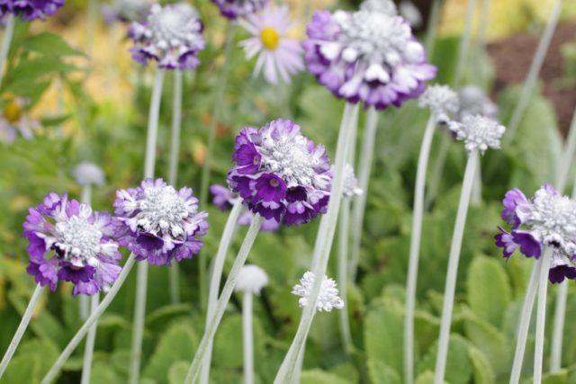 Уплощенные головки темно-лиловых цветков