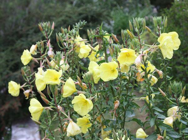 Пастельно-желтые цветки
