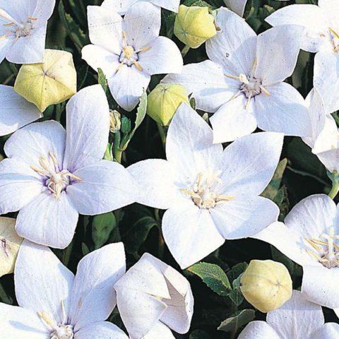 Цветки чисто-белые
