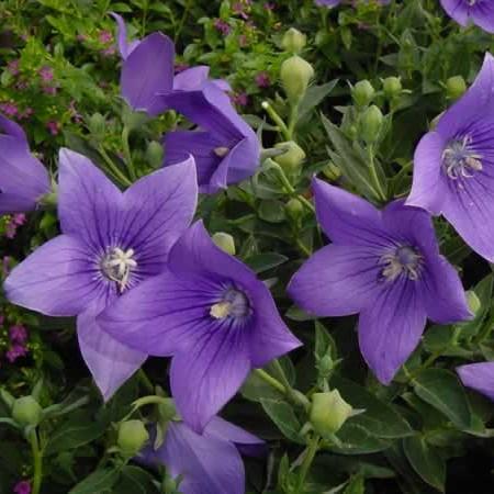 Цветки с широко раскрытыми долями венчика