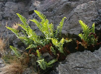 Зимостойкий вечнозеленый папоротник