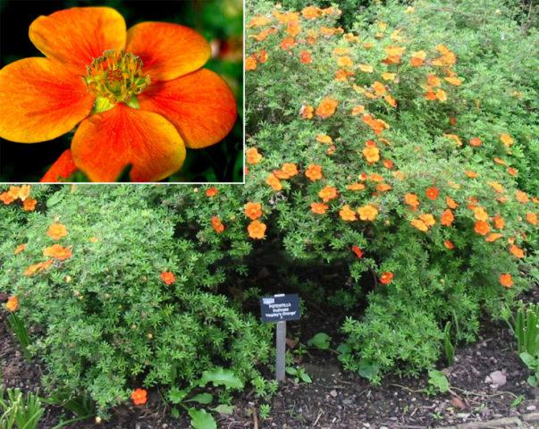 Компактный мелколистный куст с оранжевыми цветками
