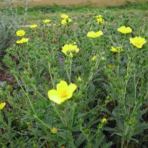 У сорта насыщенно желтые цветки
