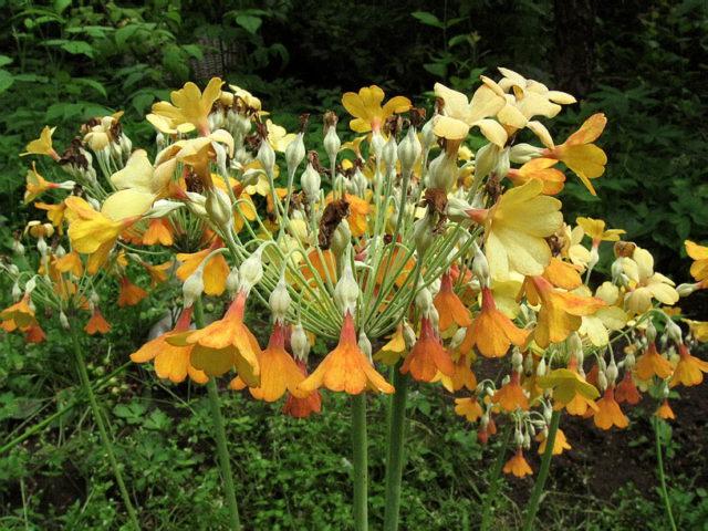 Крепкие цветоносы с крупными зонтиками душистых поникающих колокольчатых цветков