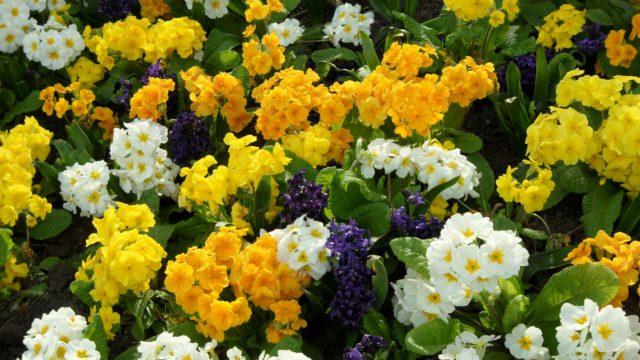 Крупные зонтики цветков