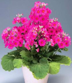 Сорт образует крупные зонтики цветков