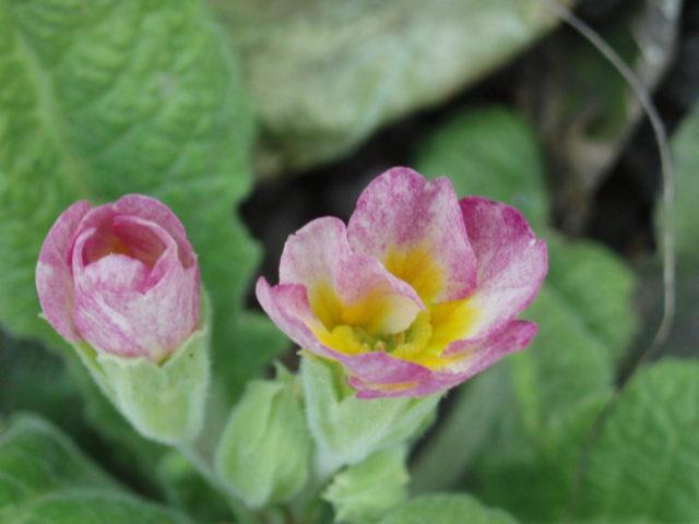 Густые зонтики розовых цветков с желтым глазком