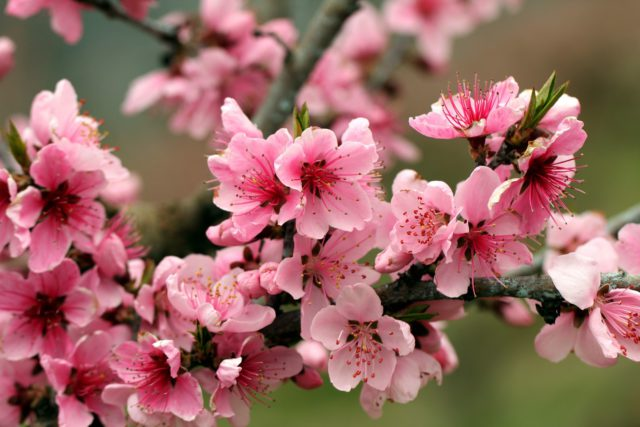 """Apple Blossom"""