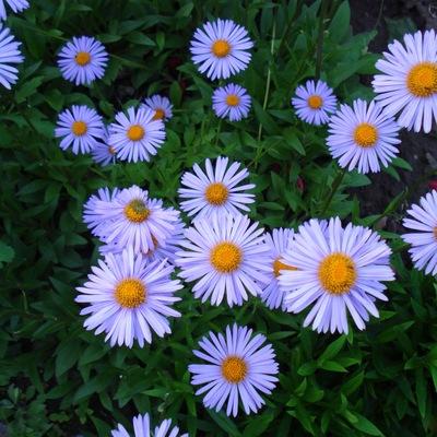 Цветет обильно в конце лета