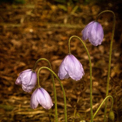 Одиночные пастельно-лиловые цветки