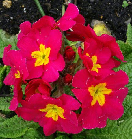 Цветки кирпично-красные
