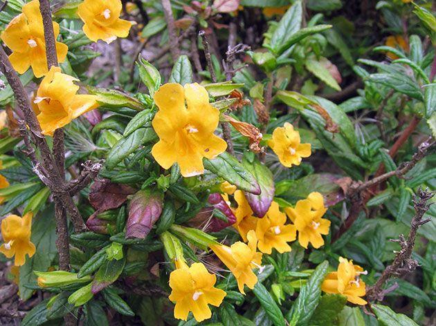 Цветки с запахом мускуса