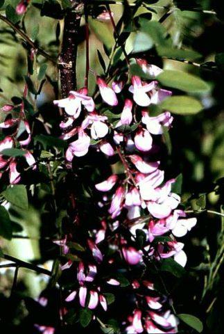 У сорта цветки мелкие