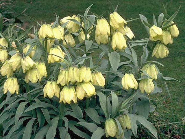 Крупные кремовые цветки