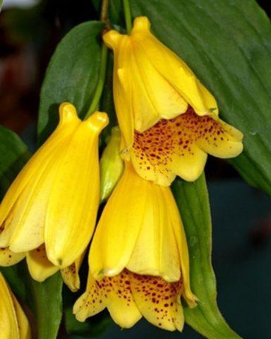 Желтые с шоколадным рисунком колокольчатые цветки