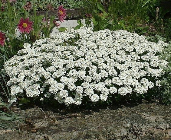 Компактное растение с белыми цветками