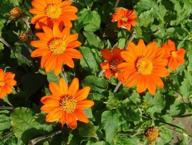 Красные или оранжевые, напоминающие циннию соцветия