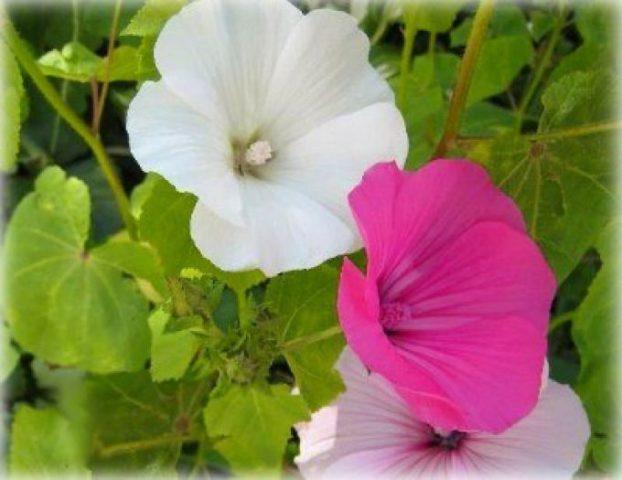 Розово-пурпурные с более темными прожилками пятилепестные цветки
