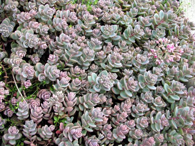 Плотные полушаровидные соцветия