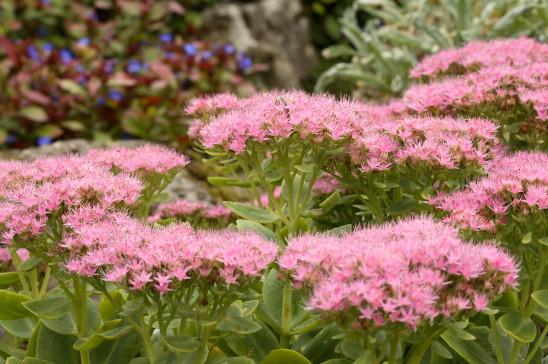 Цветки пунцовые
