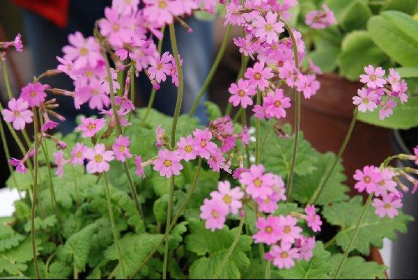 Зонтики от бледно-розовых до малиновых цветков
