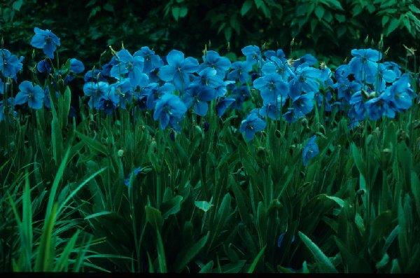 Цветки насыщенного голубого цвета