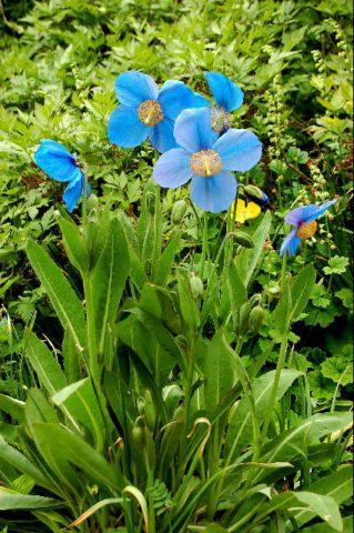 Травянистый многолетник украшен великолепными цветками