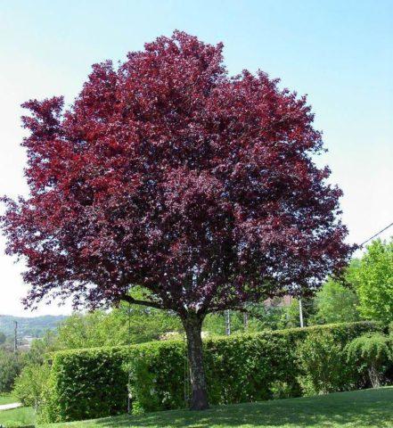 Черновато-лиловые листья