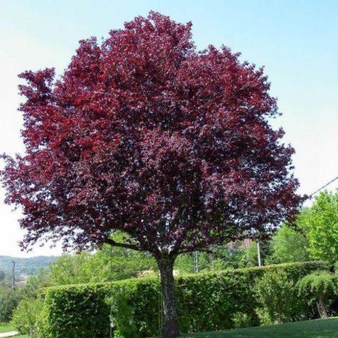 Ветви лилово-коричневые