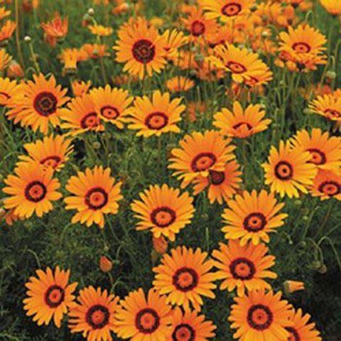Оранжевые краевые цветки