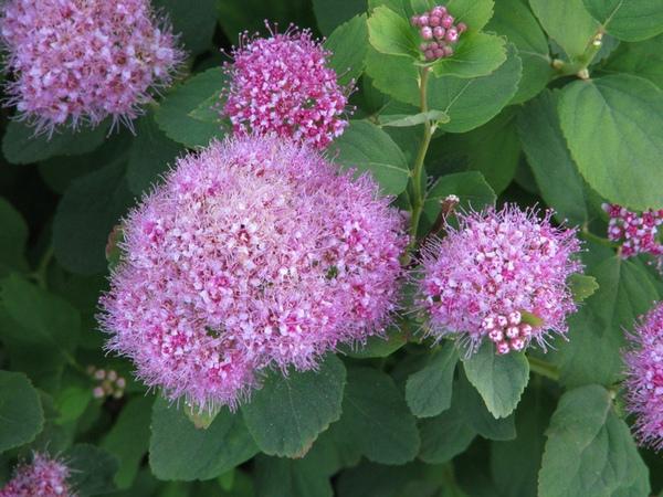Короткие рыхлые соцветия