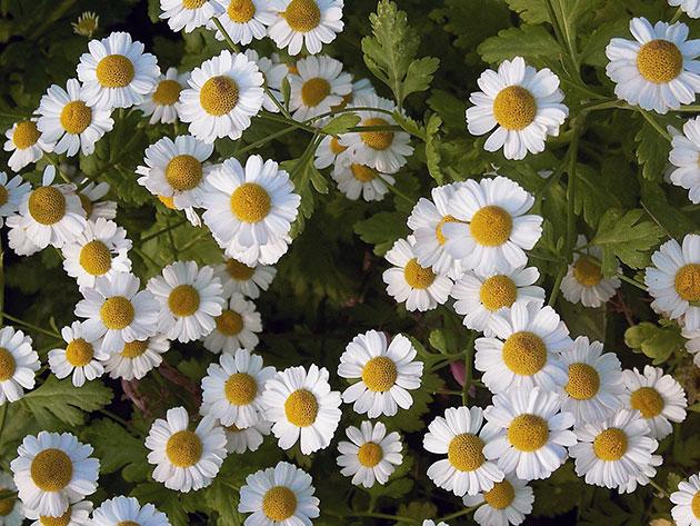 Одиночные, похожие на ромашки белые соцветия
