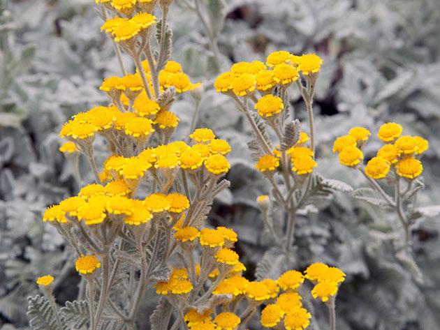 Крошечные, похожие на маргаритки желтые соцветия