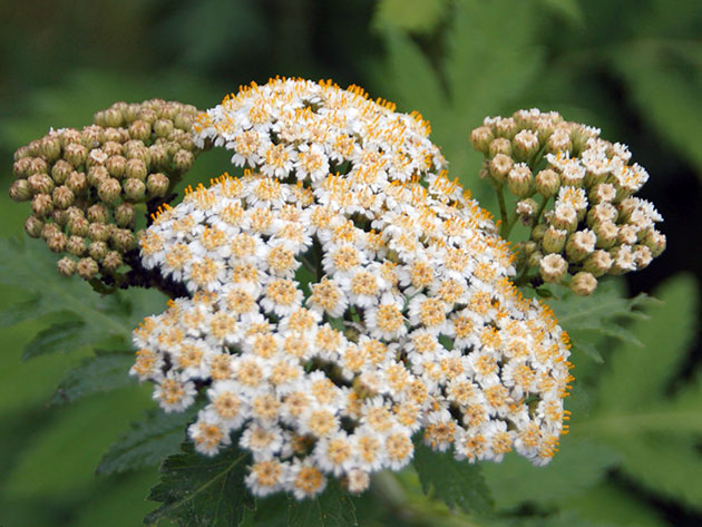 Мелкие белые соцветия с золотисто-желтым оттенком