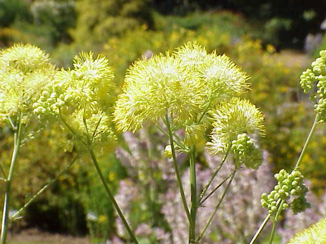 Крошечные светло-желтые цветки