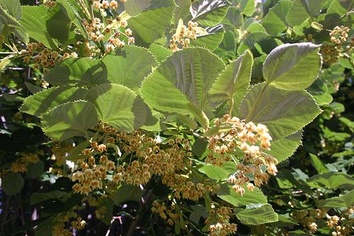 Листья округлые, острозубчатые