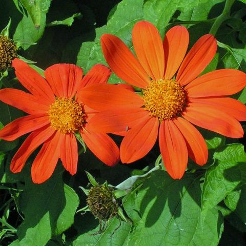 Соцветия ярко-оранжевые