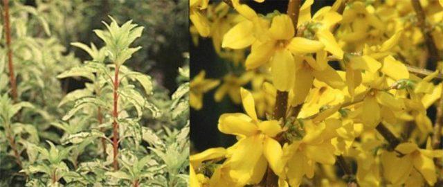 Компактное кустовидное растение