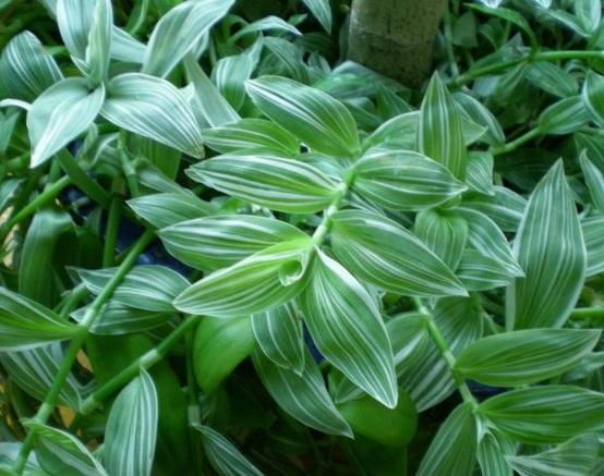 Теплолюбивый вечнозеленый сорт