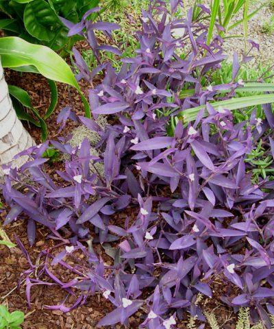 Сильное растение с широкими ланцетными листьями