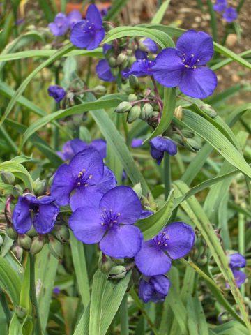 Соцветия синих, пурпурных или белых цветков