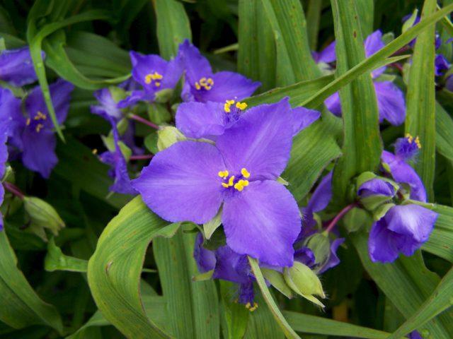 У сорта цветки темно-синие
